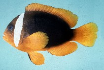 Image of Amphiprion rubrocinctus (Red Anemonefish)