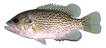 Image of Ambloplites rupestris (Rock bass)