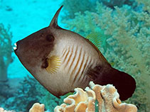 Image of Amanses scopas (Broom filefish)