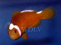 Image of Amphiprion thiellei (Thielle\