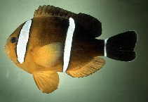 Image of Amphiprion tricinctus (Maroon clownfish)