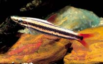 Image of Anostomus anostomus (Striped headstander)