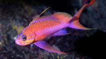 Image of Anthias anthias (Swallowtail seaperch)