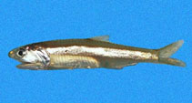 Image of Anchoa argentivittata (Regan\