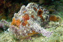 Image of Fowlerichthys avalonis (Roughbar frogfish)