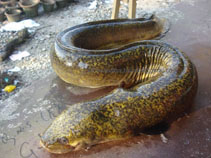 Image of Anguilla bengalensis (Indian mottled eel)