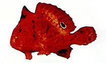 Image of Antennarius biocellatus (Brackishwater frogfish)