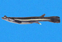 Image of Anableps dowei (Pacific foureyed fish)