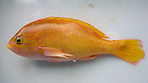 Image of Anthias helenensis