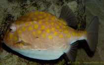 Image of Anoplocapros inermis (Eastern smooth boxfish)