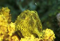 Image of Antennarius multiocellatus (Longlure frogfish)