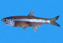Image of Anchoa nasus (Longnose anchovy)