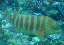 Image of Anchichoerops natalensis (Natal wrasse)