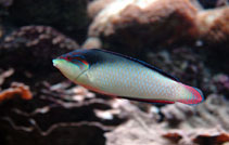 Image of Anampses neoguinaicus (New Guinea wrasse)