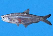 Image of Anchoa walkeri (Persistent anchovy)