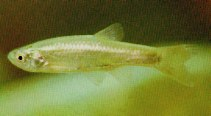 Image of Aphyocypris chinensis (Chinese bleak)
