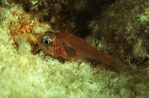 Image of Apogon erythrinus (Hawaiian ruby cardinalfish)