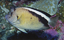 Image of Apolemichthys griffisi (Griffis angelfish)