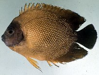 Image of Apolemichthys guezei (Reunion angelfish)