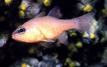 Image of Apogon imberbis (Cardinal fish)