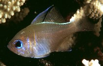 Image of Zoramia leptacantha (Threadfin cardinalfish)