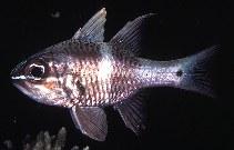 Image of Ostorhinchus norfolcensis (Norfolk cardinalfish)