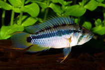 Image of Apistogramma payaminonis