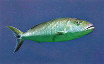 Image of Aprion virescens (Green jobfish)