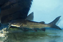 Image of Neoarius berneyi (Highfin catfish)