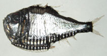 Image of Argyropelecus gigas (Hatchetfish)