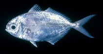Image of Ariomma indicum (Indian driftfish)