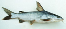 Image of Arius maculatus (Spotted catfish)
