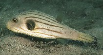 Image of Arothron manilensis (Narrow-lined puffer)