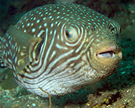 Image of Arothron reticularis (Reticulated pufferfish)