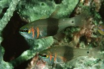 Image of Taeniamia zosterophora (Blackbelted cardinalfish)
