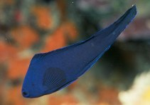 Image of Assessor macneilli (Blue devilfish)