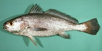 Image of Atrobucca nibe (Blackmouth croaker)