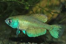 Image of Austrolebias bellottii (Argentine pearlfish)