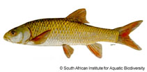 Image of Labeobarbus aeneus (Smallmouth yellowfish)