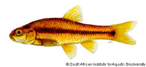 Image of Barbus anoplus (Chubbyhead barb)