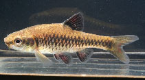 Image of Enteromius apleurogramma (East African red finned barb)