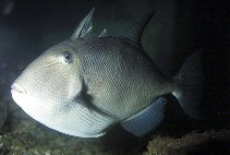Image of Balistes capriscus (Grey triggerfish)