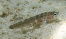 Image of Barbulifer ceuthoecus (Bearded goby)