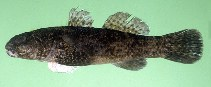 Image of Bathygobius cotticeps (Cheekscaled frill-goby)