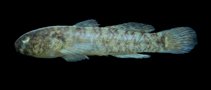 Image of Barbulifer enigmaticus (Goateed goby)