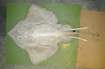 Image of Bathyraja pallida (Pale ray)