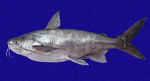 Image of Bagre panamensis (Chilhuil sea catfish)