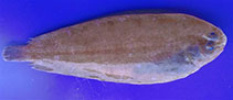Image of Bathysolea profundicola (Deepwater sole)