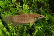 Image of Betta apollon
