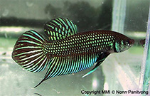 Image of Betta mahachaiensis
